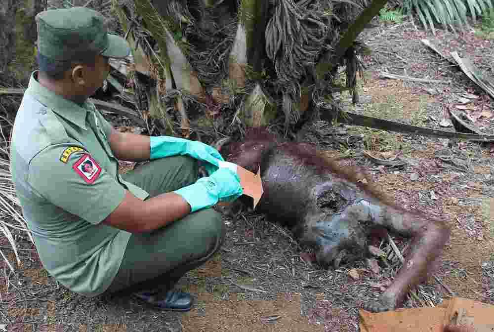 penemuan orangutan IMG_7354