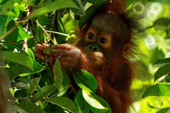 Okto, one of the orangutans undergoing soft release, enjoying Ubar fruit.