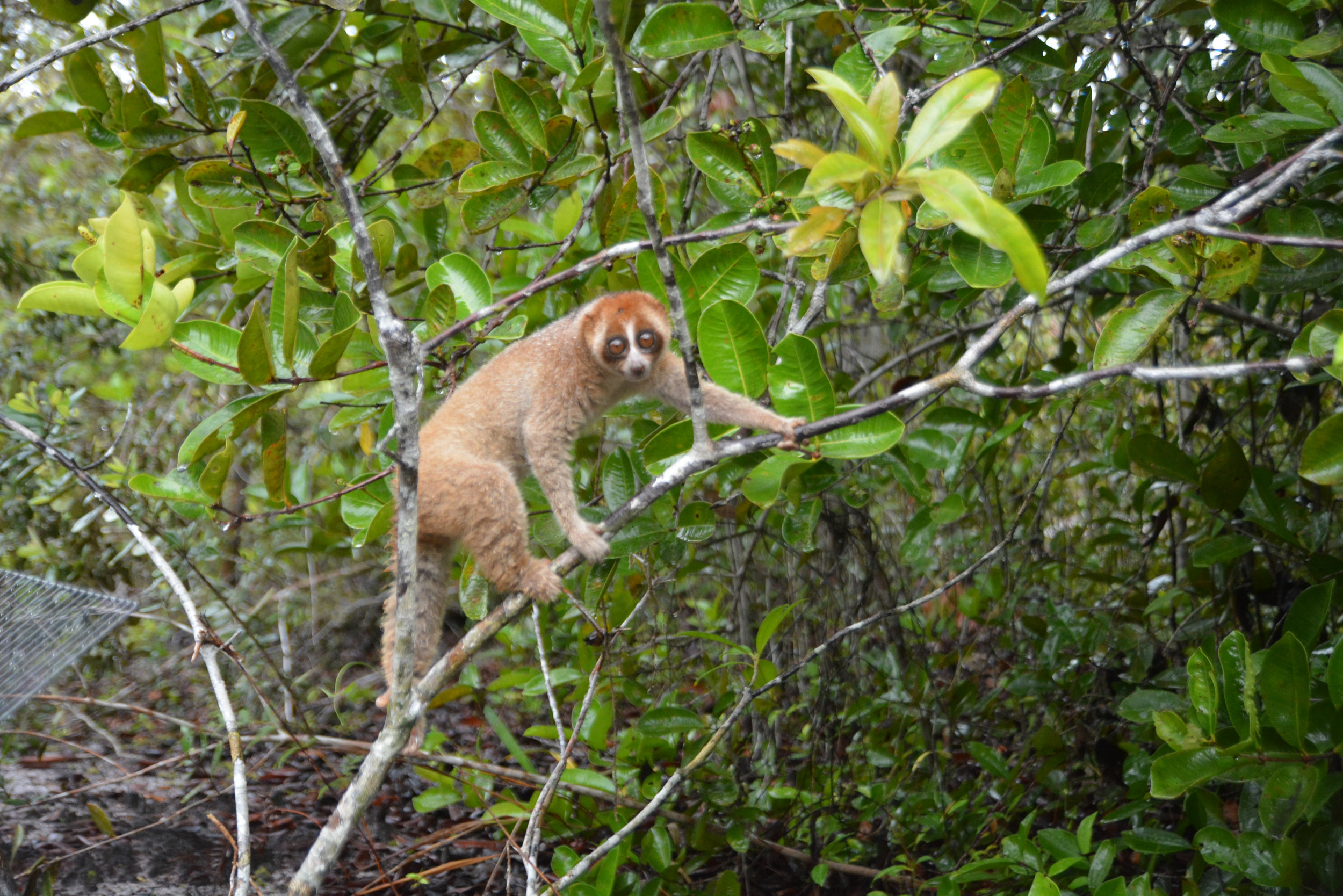 e Release Slow loris in Camp JL 11 June 2014DSC_3489