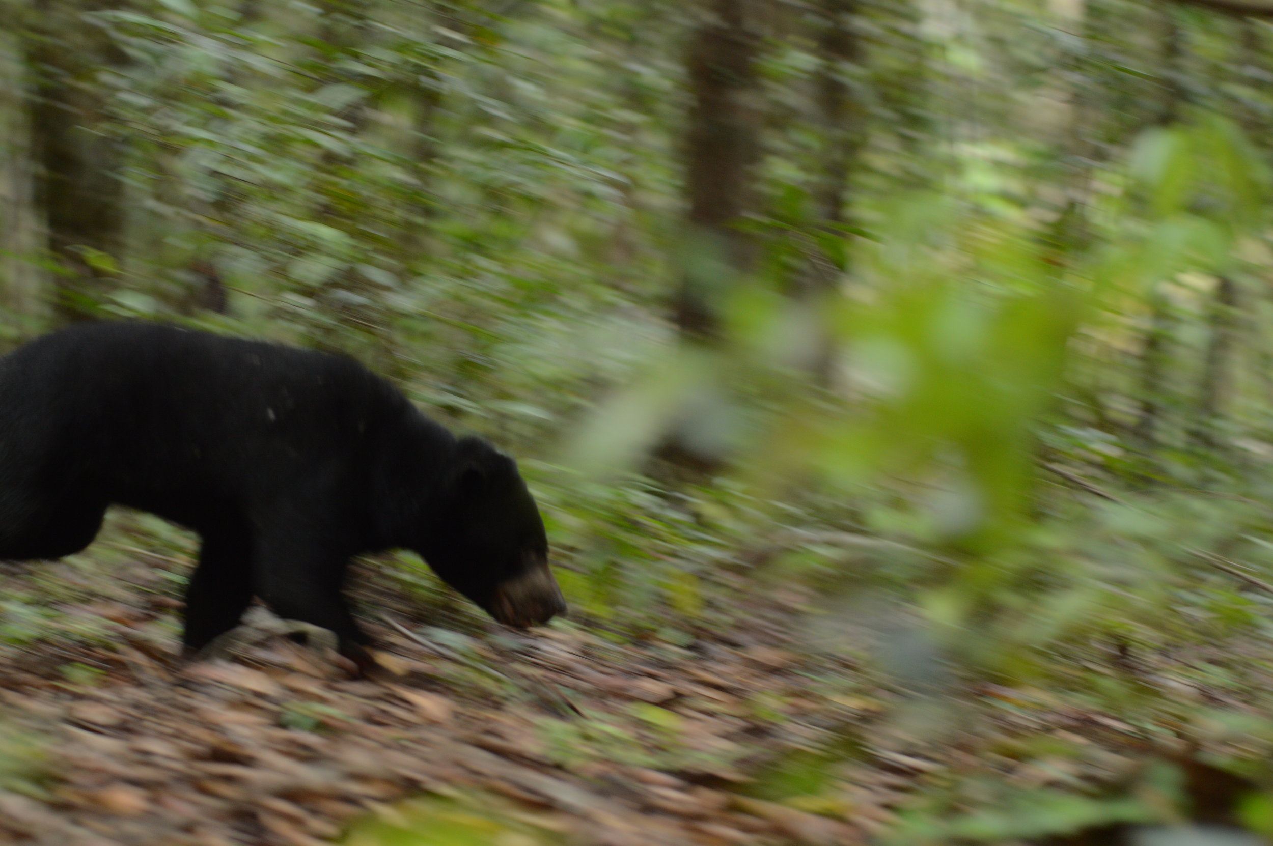 The sun bear disappeared into the forest immediately following release