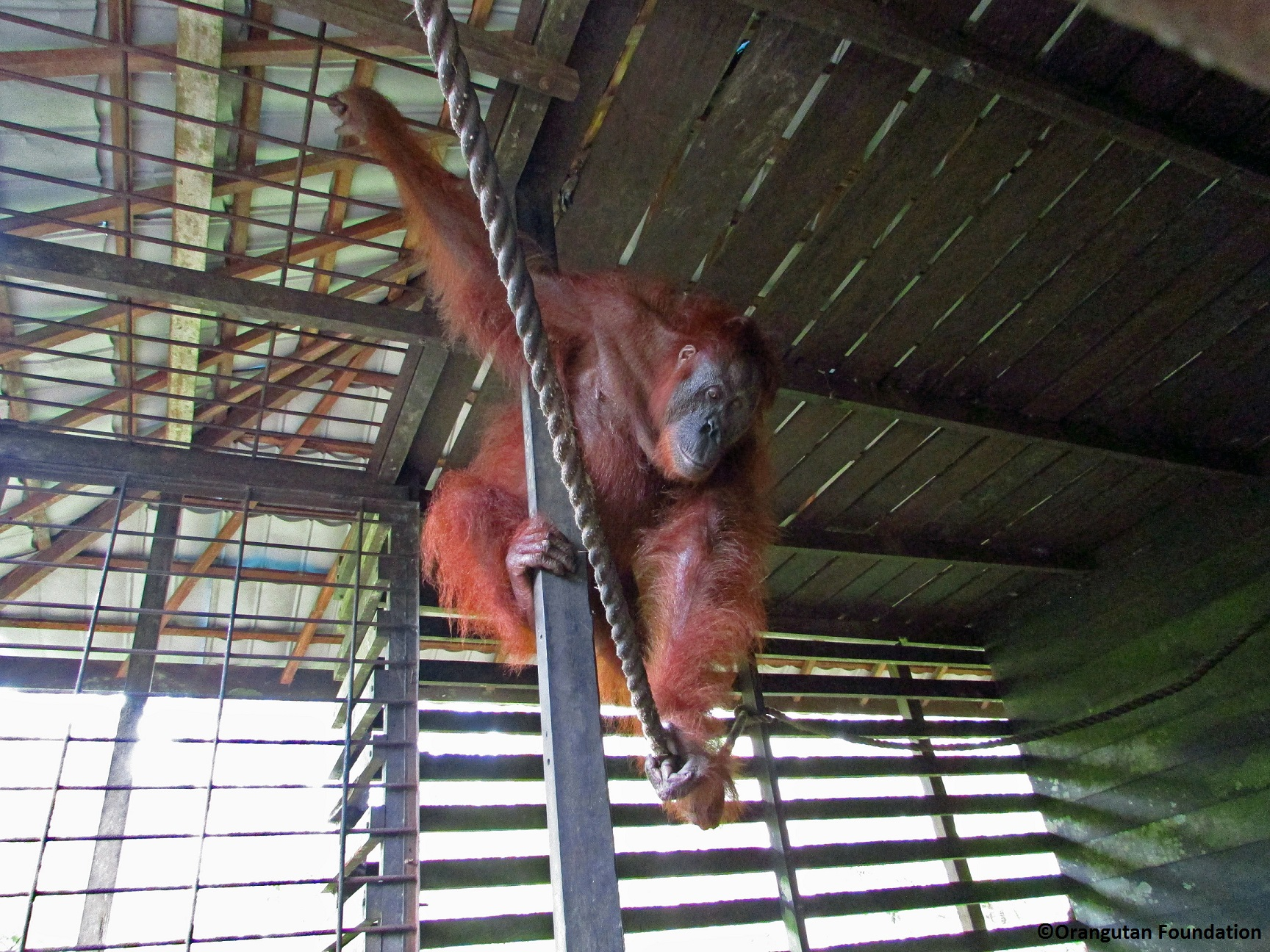 Blind Bornean orangutan, Aan, in her enclosure, in the Lamandau Wildlife Reserve, Borneo
