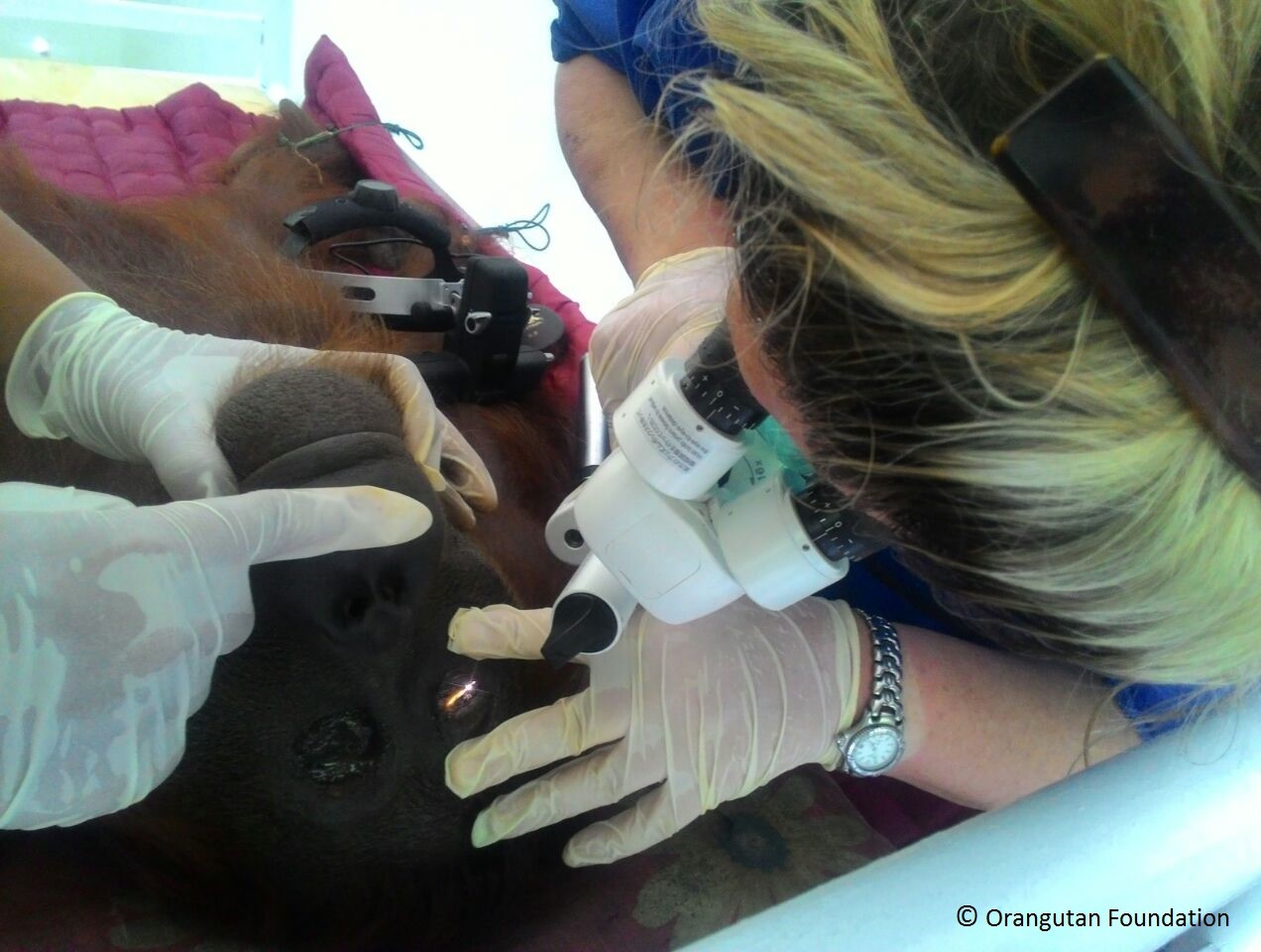 Ophthalmic surgeon examining Bornean orangutan's eye