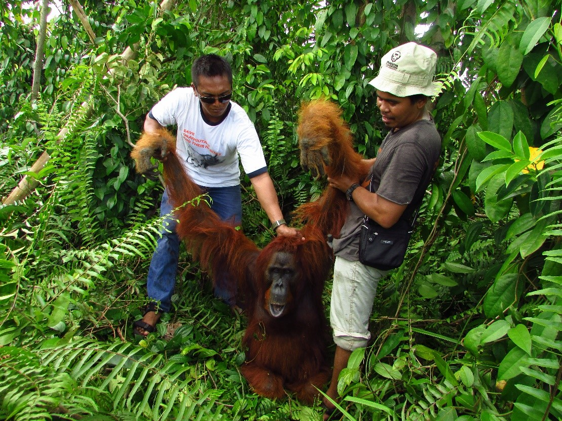 Orangutan Foundation staff translocated Kolam whilst sedated.