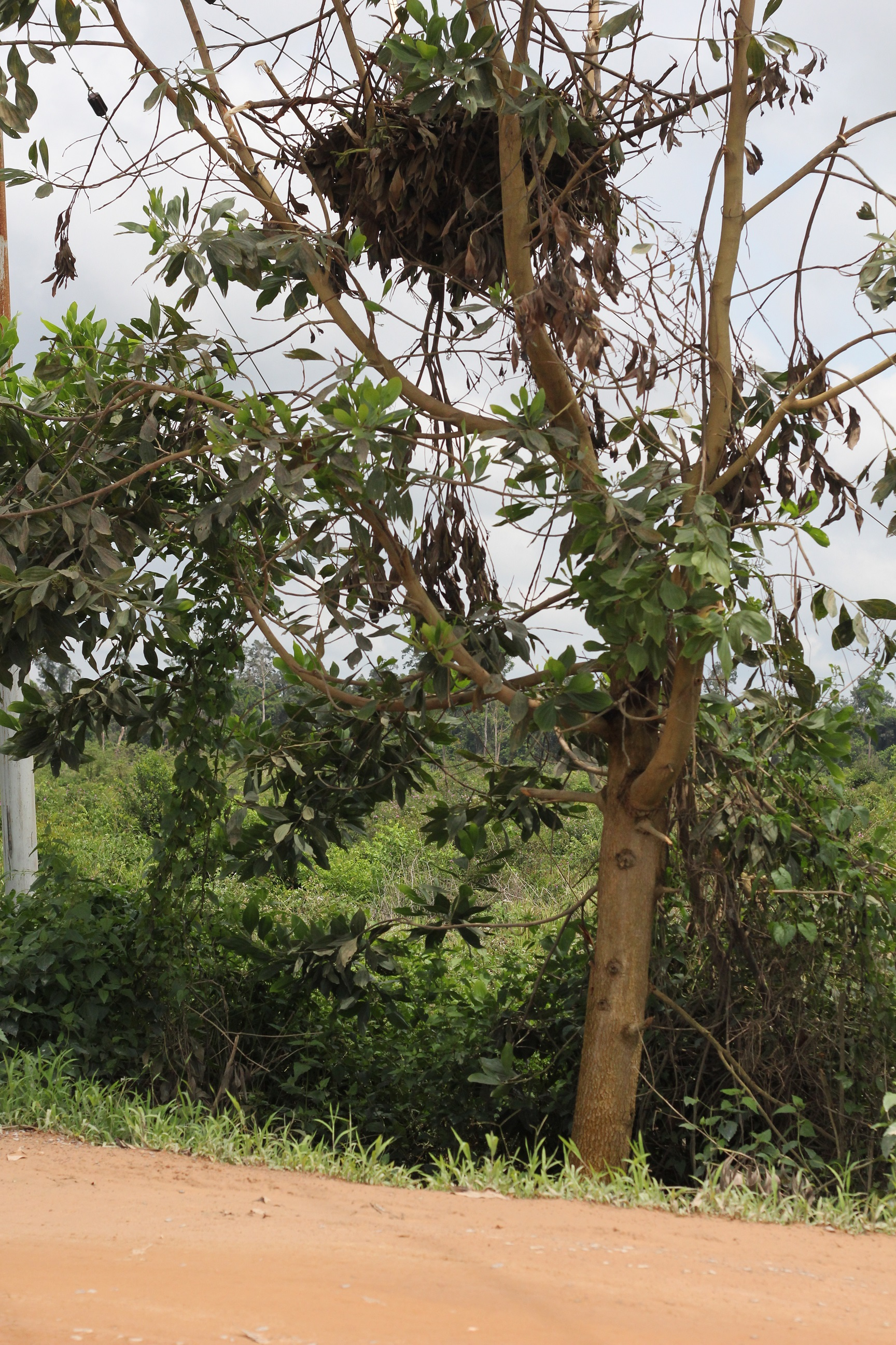 Kolam's nest can be seen in the tree, with the road in the foreground.