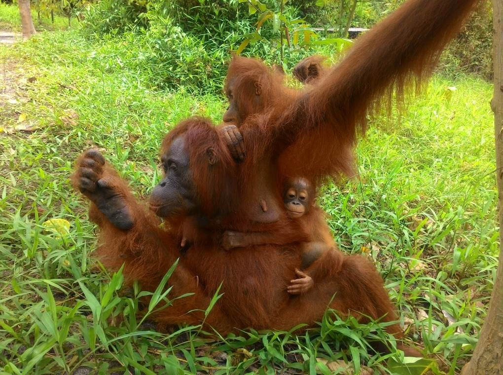 Adult female orangutan Acuy with infant Ariel and their 'adopted' orangutan companion, Kotim.