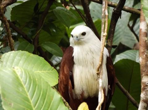 Jack, the brahminy kite, has started to fly short distances and now roosts in the trees.