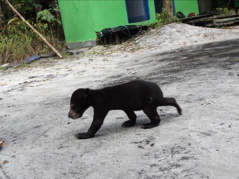 Bornean sun bear, Bruno