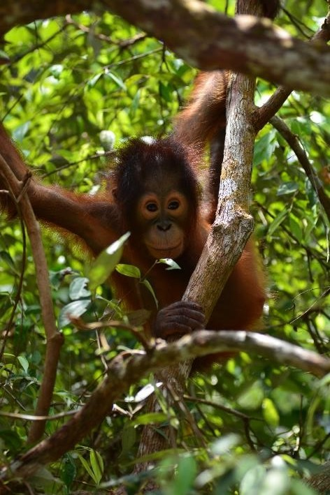 Young Bornean orangutan, Endut, learning to survive in the wild. © Orangutan Foundation