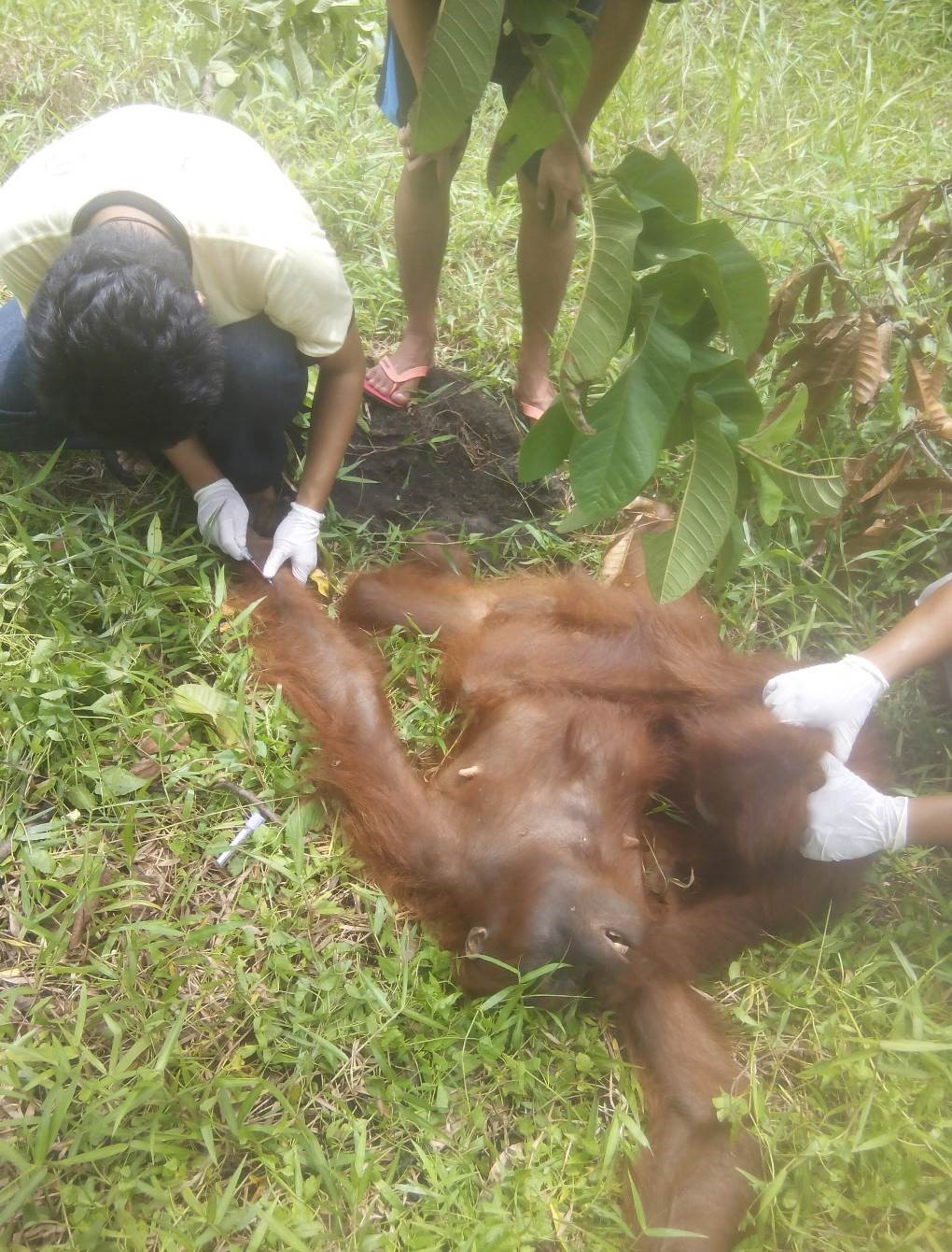 Treating adult Bornean orangutan, Acuy with de-worming medication.