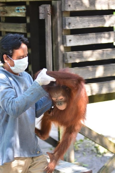 Vet with young Bornean orangutan, Okto. December 2016. © Orangutan Foundation