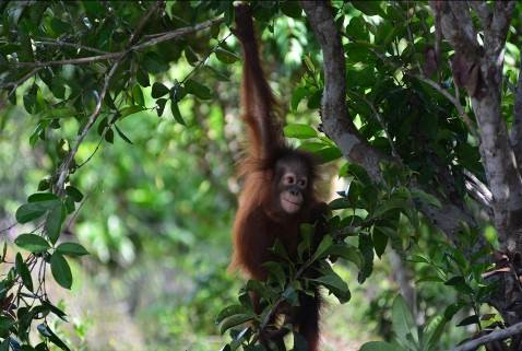 Bornean orangutan, Okto, playing in the trees.© Orangutan Foundation