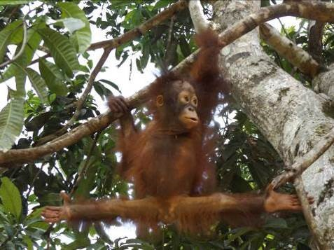 Every-which-way hips. Timtom making use of her arboreal adaptations! © Orangutan Foundation