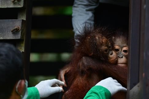 Young rescued Bornean orangutans Timtom and Endut, being taken out of their enclosure to play in the forest. © Orangutan Foundation