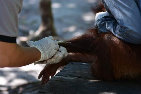 Orangutan Foundation vet treating Okto and Ketty.  © Orangutan Foundation