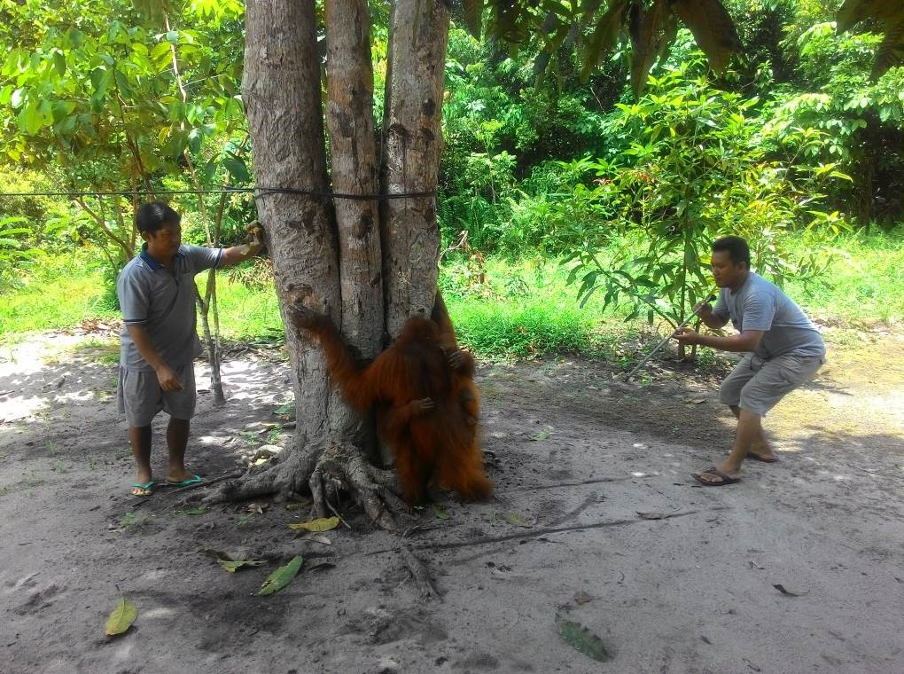 Darting adult female orangutan Acuy in order to examine her son, Ariel.