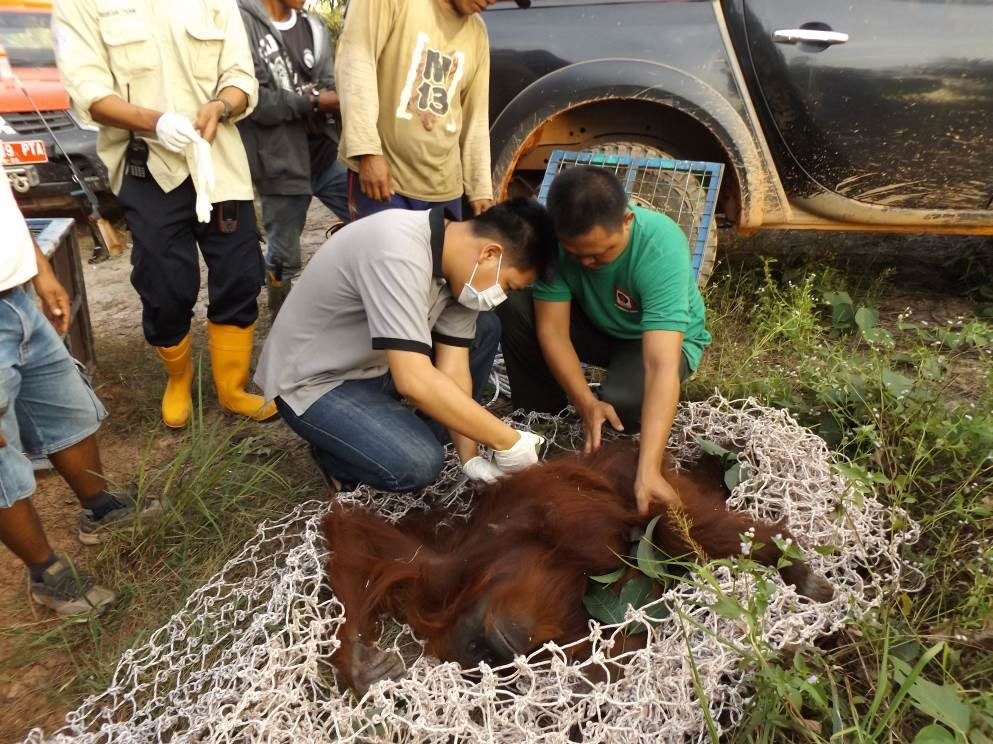 Wild female Bornean orangutan rescued from oil-palm plantation. © Orangutan Foundation