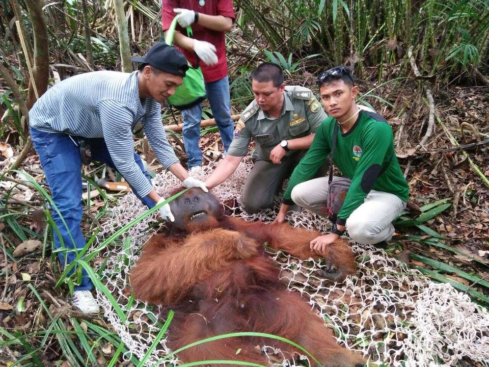 Orangutan Foundation staff examine tranquilised orangutan. ©Orangutan Foundation.