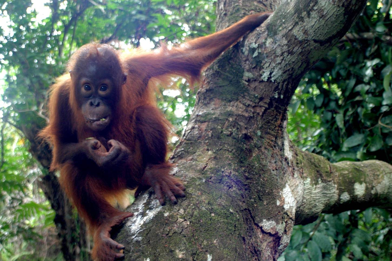 Orangutan in a tree