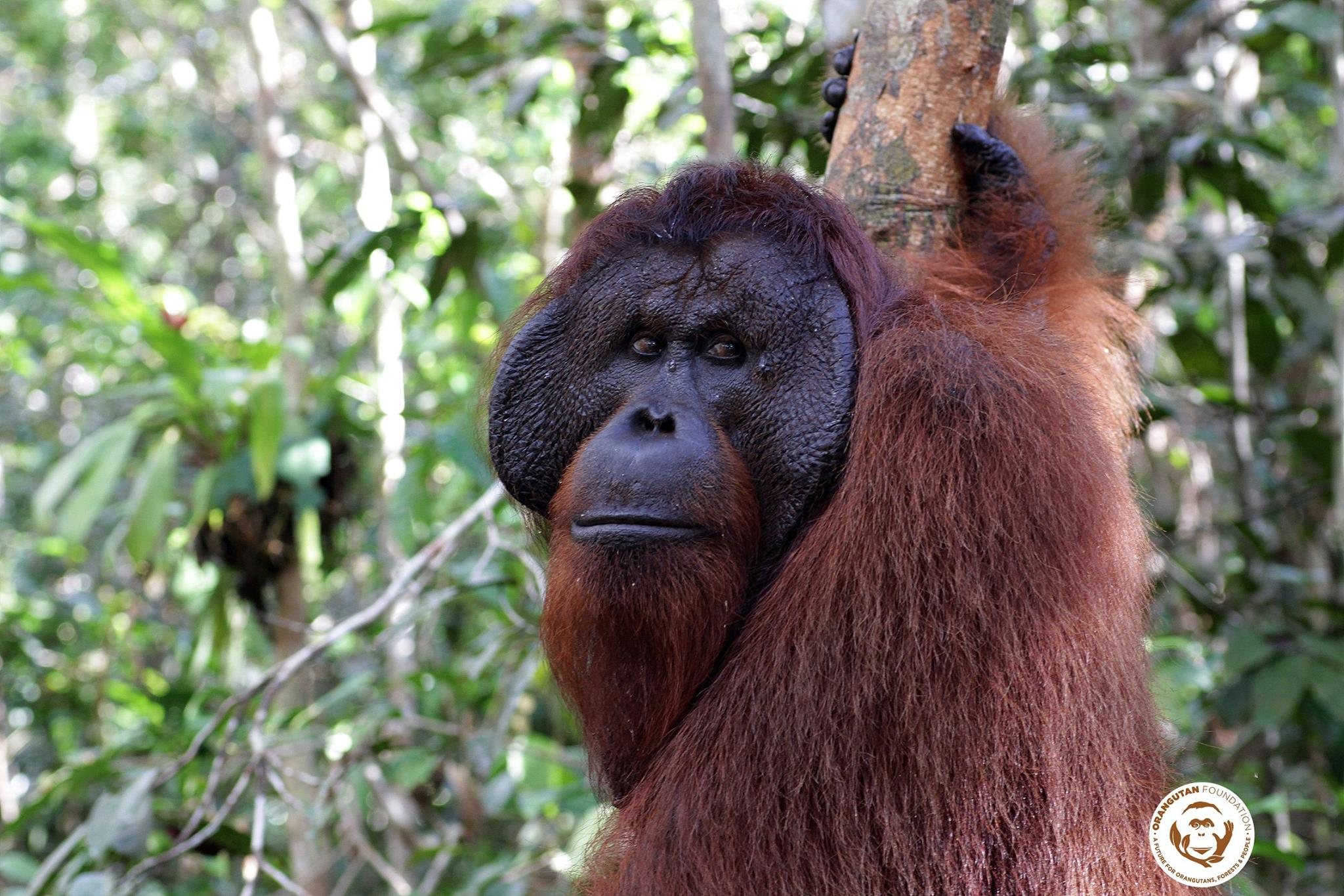 ©Orangutan Foundation. An adult male has been spotted around one of our guard posts.