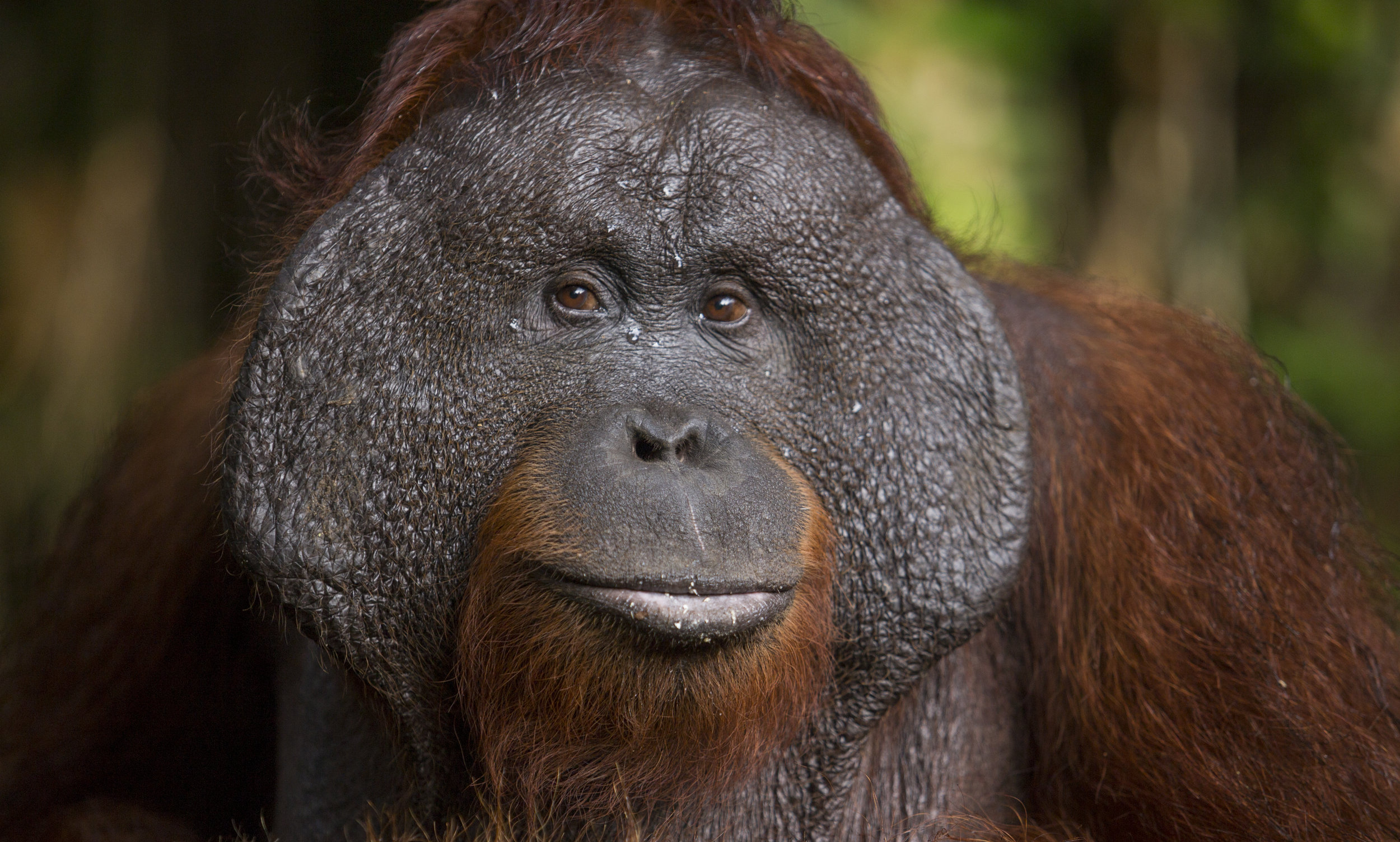 ©Bain. Adult male orangutans can grow cheek pads, or flanges.
