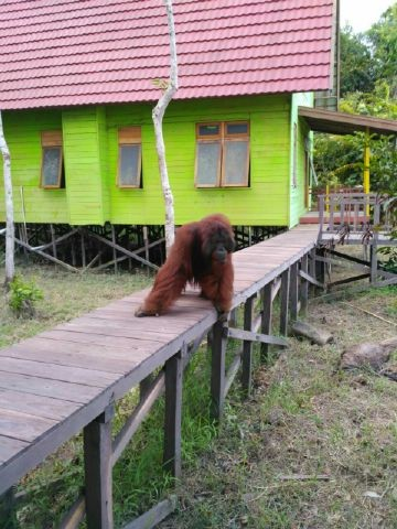 ©Orangutan Foundation. Staff are unable to move about freely whilst he is around.