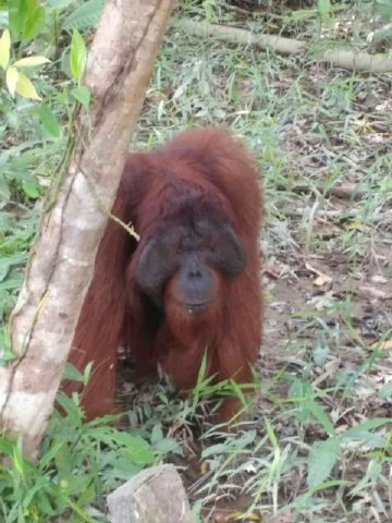 ©Orangutan Foundation. Staff will continue to monitor Ofi.