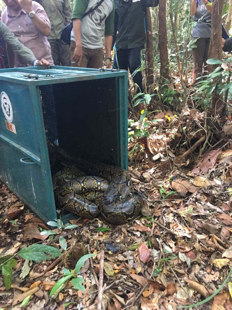 One of the animals released was a large reticulated python. Image© Orangutan Foundation.