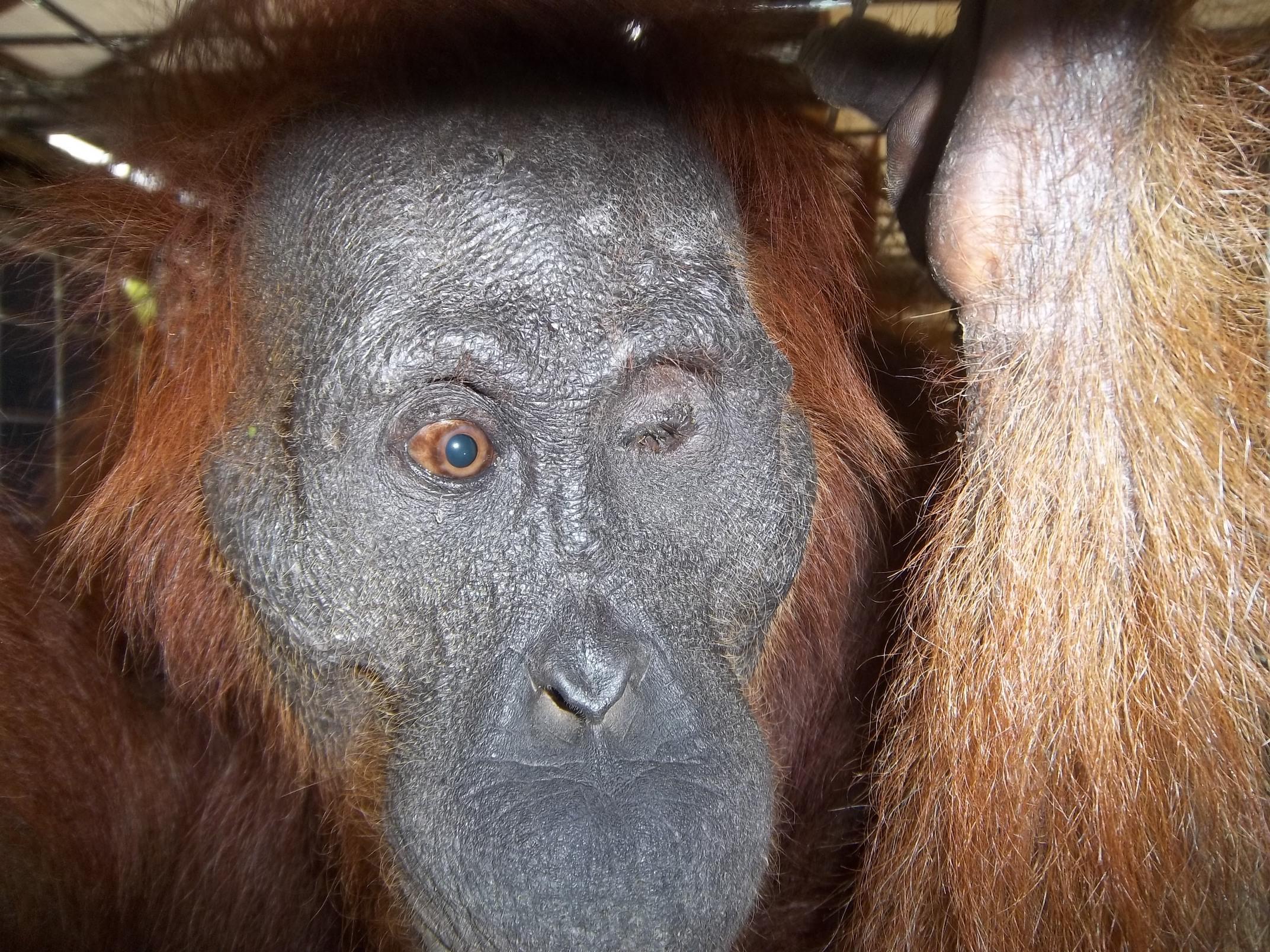 Aan, blind orangutan. Image© Orangutan Foundation.