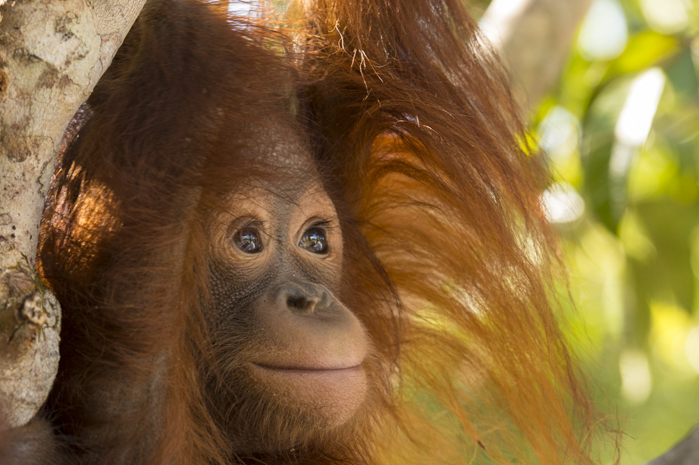 Adib the orangutan, a handsome male of around 2 years old.