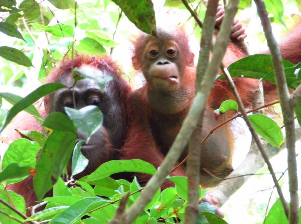 Acuy and Ariel. Image© Orangutan Foundation.