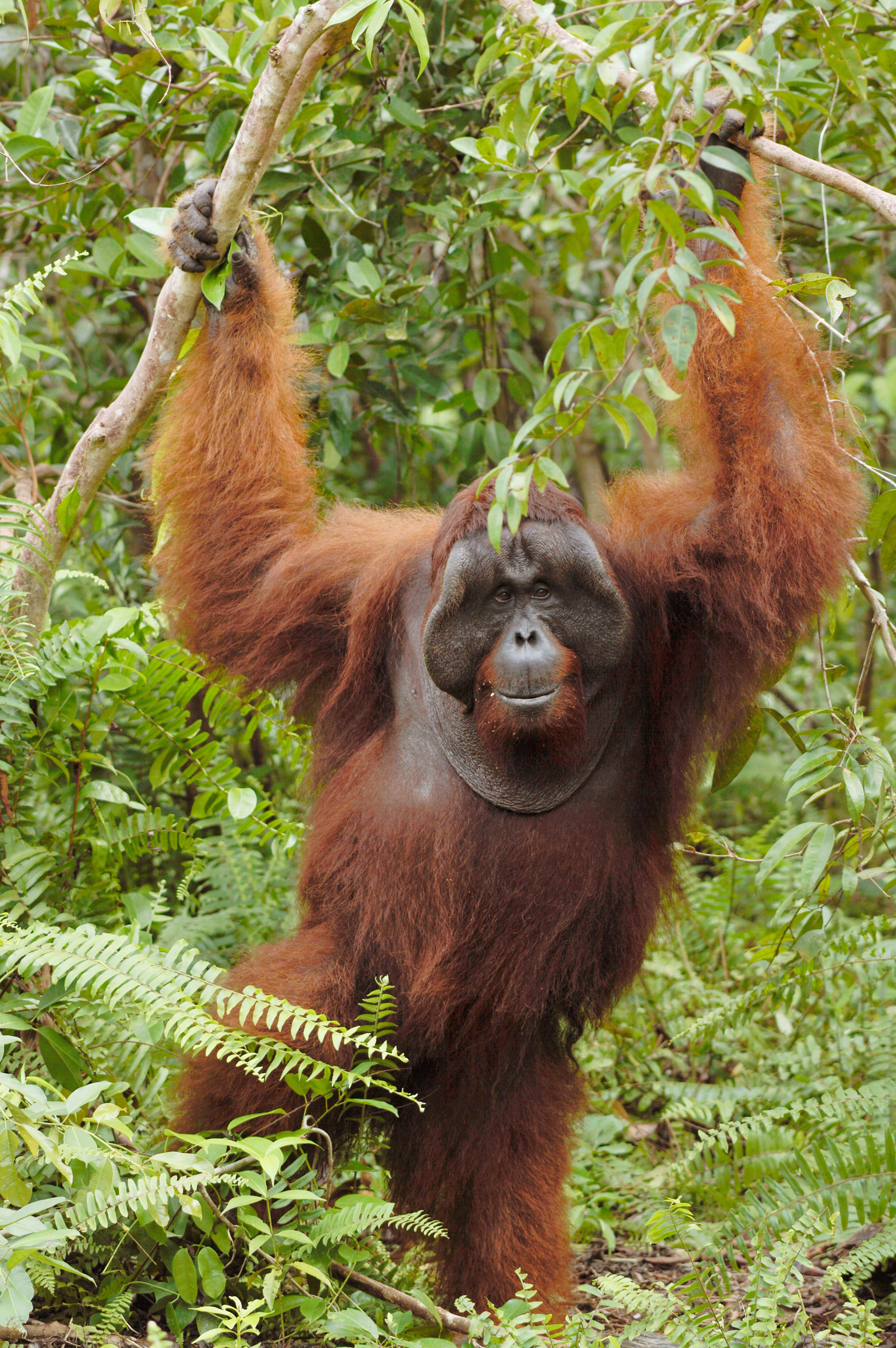 Bangkal, dominant male of the Lamandau Wildlife Reserve. Image© Orangutan Foundation.
