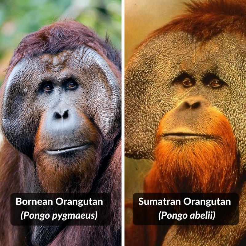 Bornean orangutan (Pongo pygmaeus) and Sumatran orangutan (Pongo abelii)