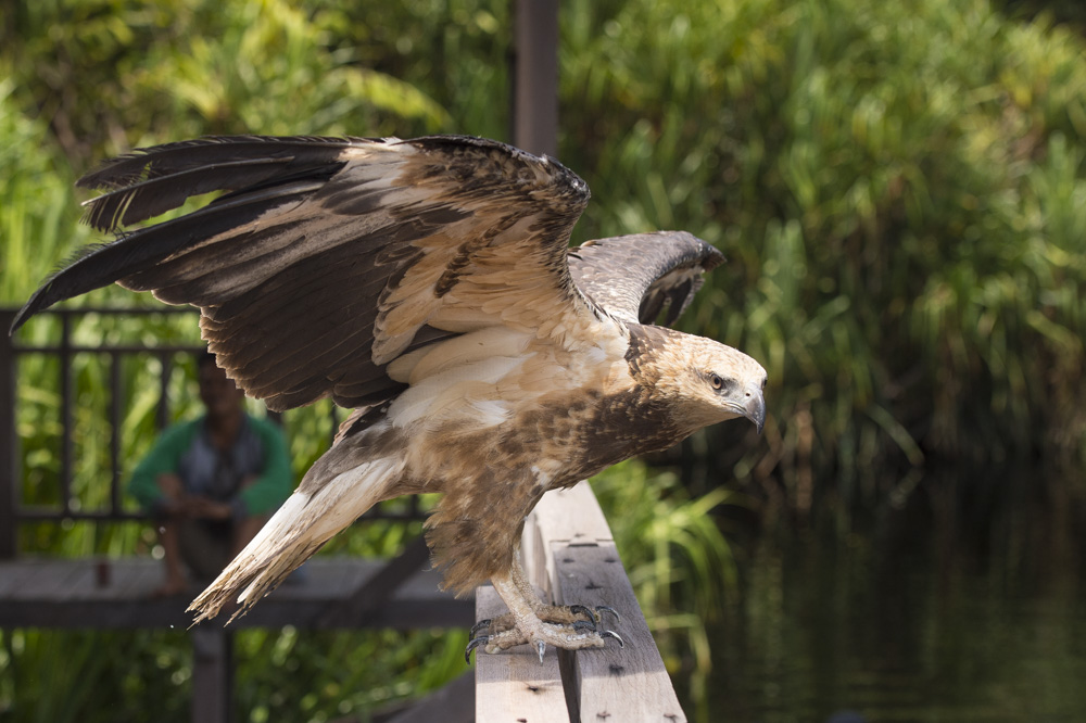 Changeable hawk eagle released into the Lamandau Wildlife Reserve. Image© Orangutan Foundation.
