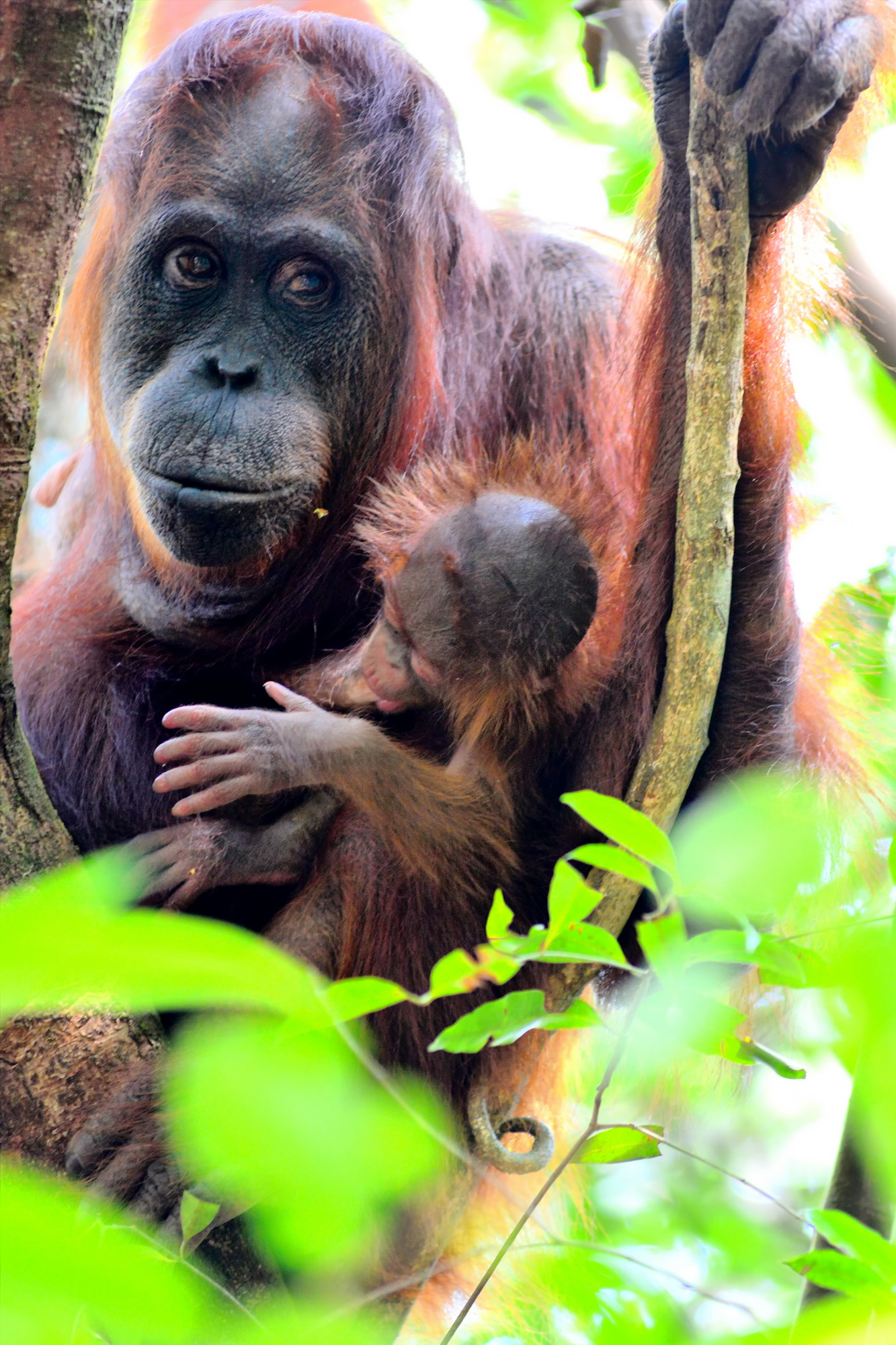 Paula with an infant in 2015. Image© Orangutan Foundation.