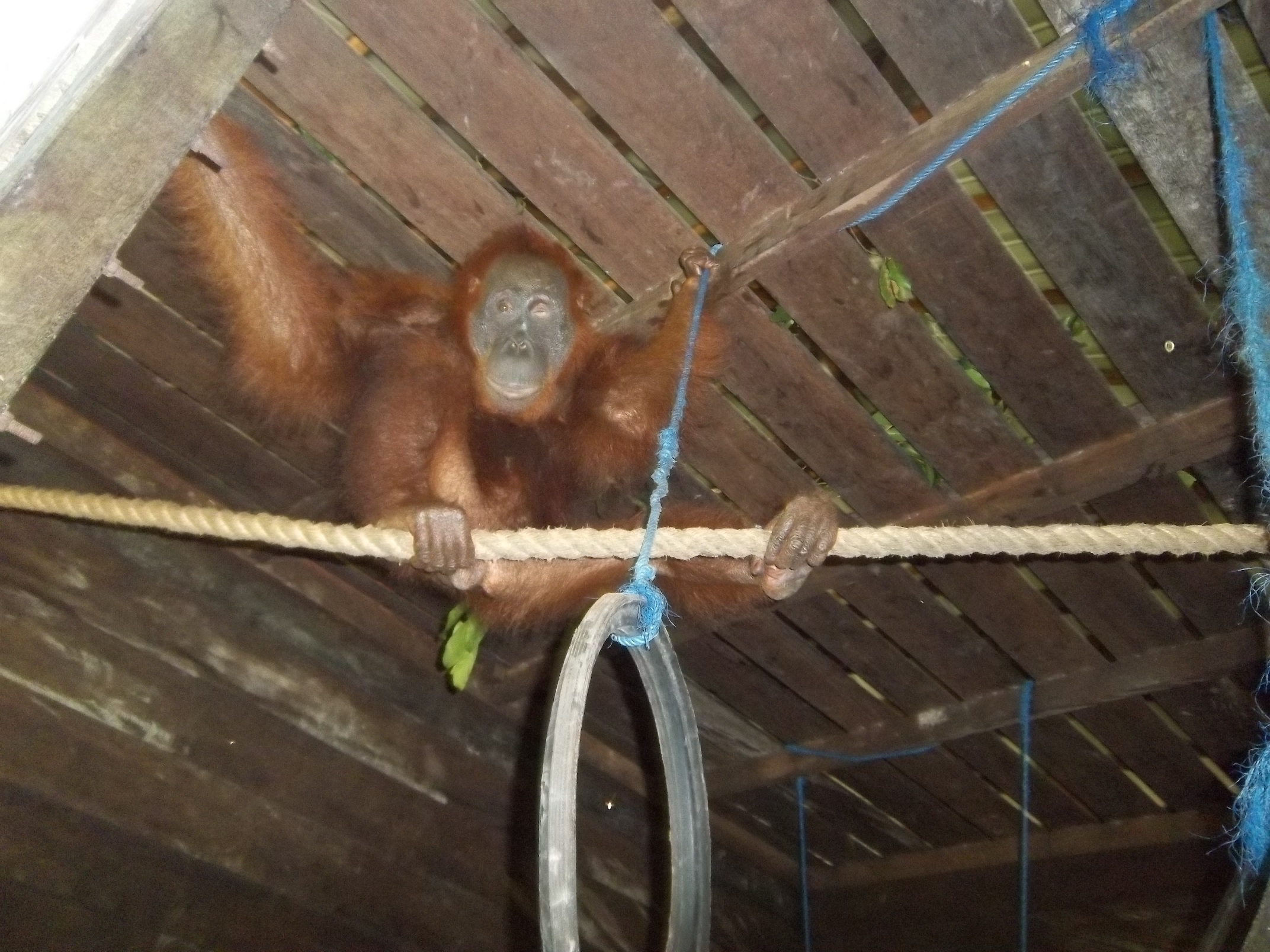 Aan in her permanent enclosure, with enrichment. Image© Orangutan Foundation.