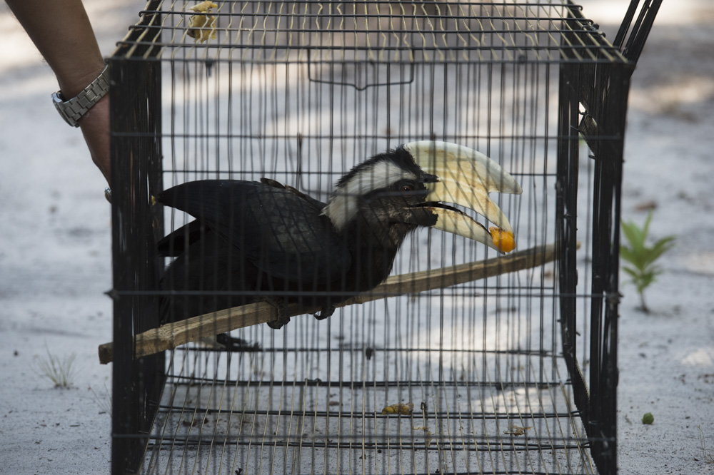The hornbill has a nibble pre-release. Image ©Ian Wood.