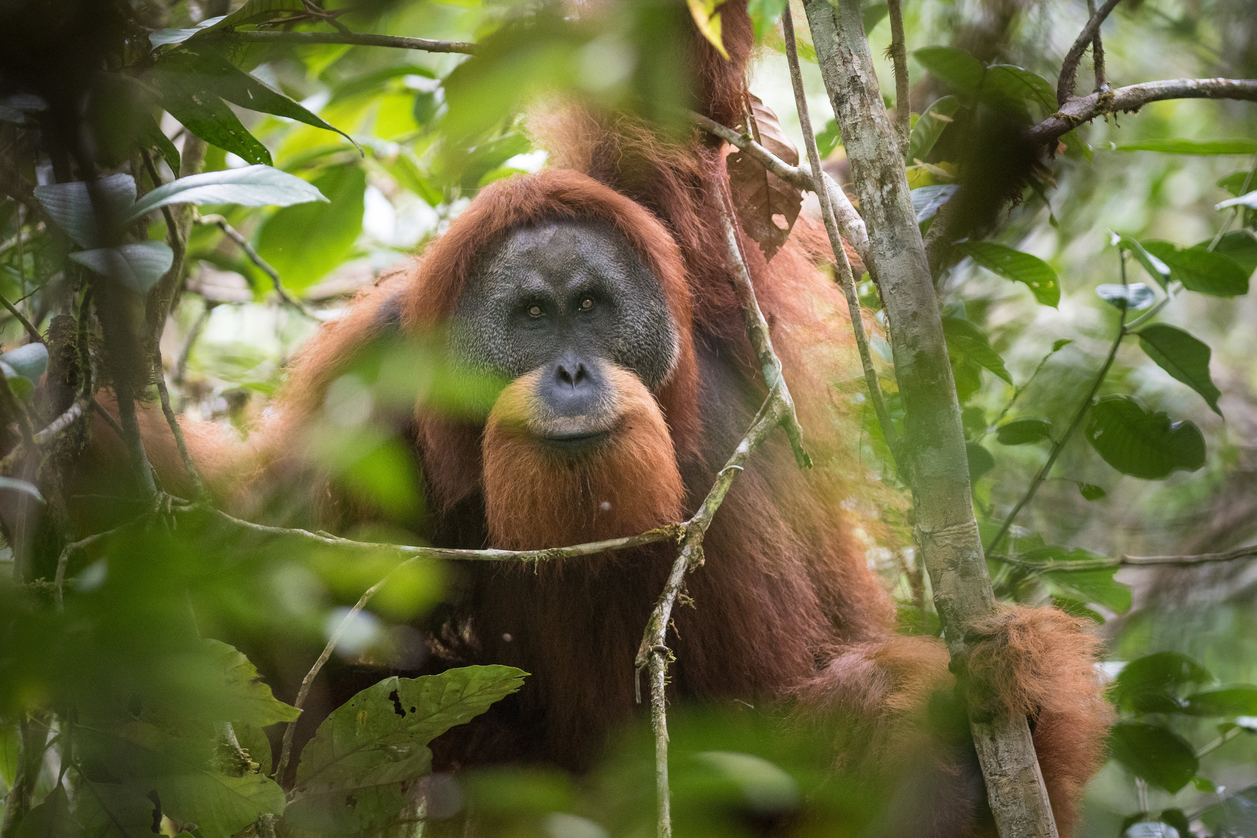 The Tapanuli orangutan. ©Andrew Whalmsley