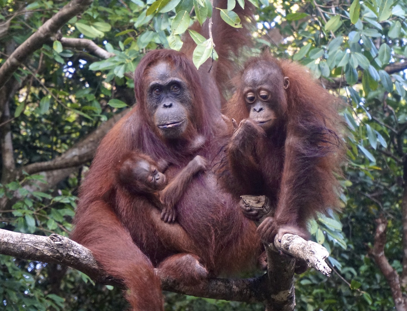 Paula with infant Paul and Rawit, 2017. Image© Orangutan Foundation.