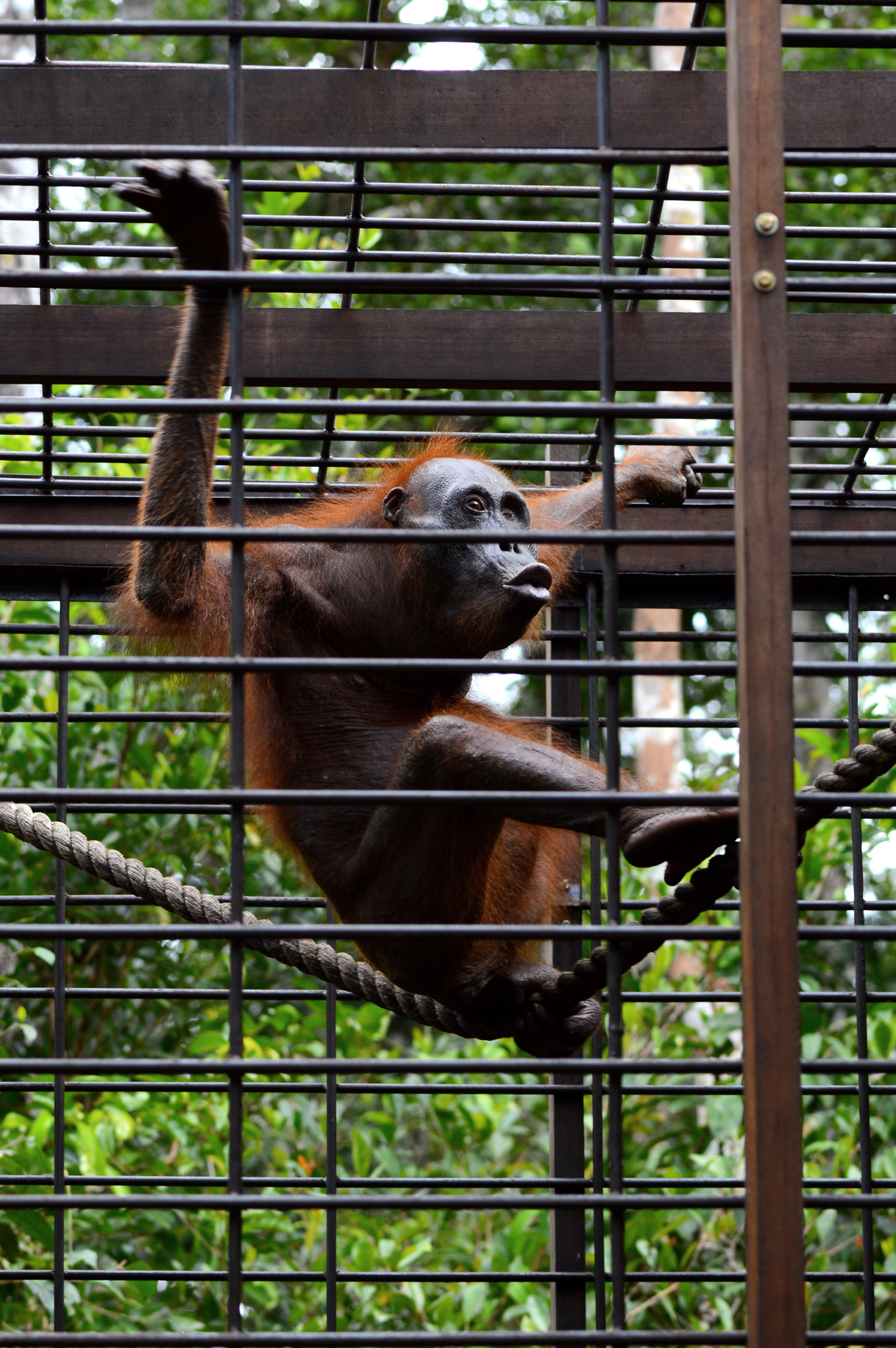 Aan, 2013. Image© Orangutan Foundation.