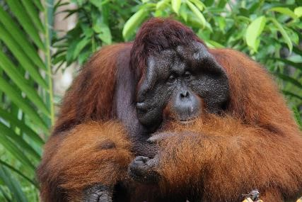 Bangkal, during a visit to the feeding station by Camp Gemini. Image© Orangutan Foundation.