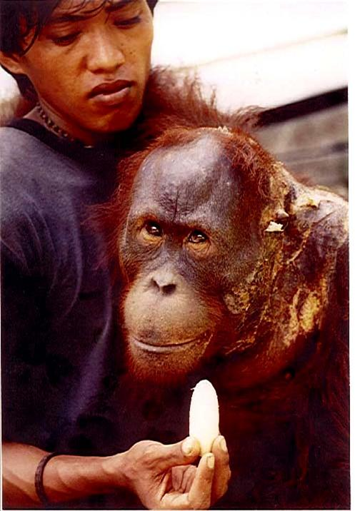 Bangkal in 2000. Image© Orangutan Foundation.