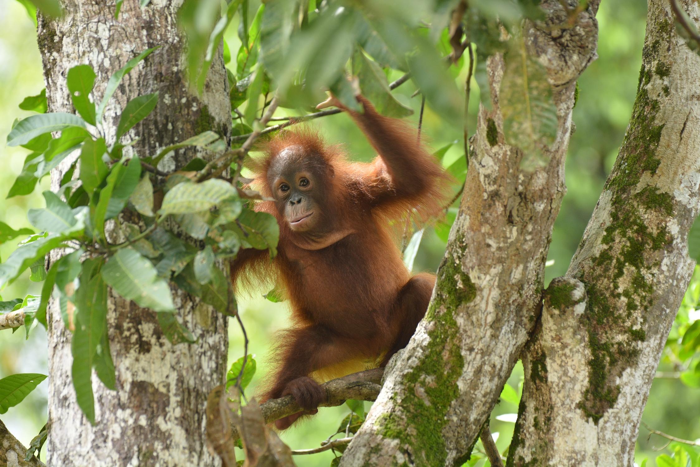 Kotim, 2015. Image© Orangutan Foundation.