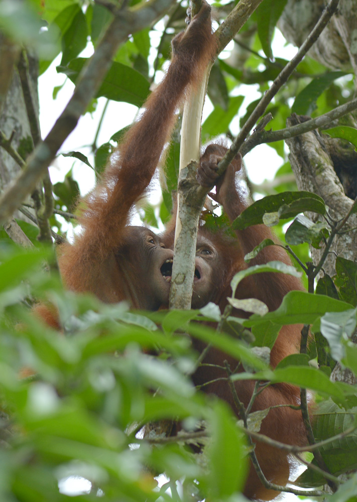 Kotim and Torup in the trees, 2016. Image© Orangutan Foundation.