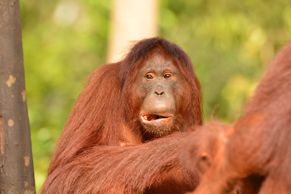 Holahonolulu in 2015. Image© Orangutan Foundation.