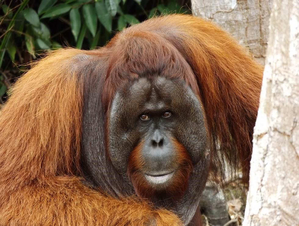 Yoko. Image© Orangutan Foundation.