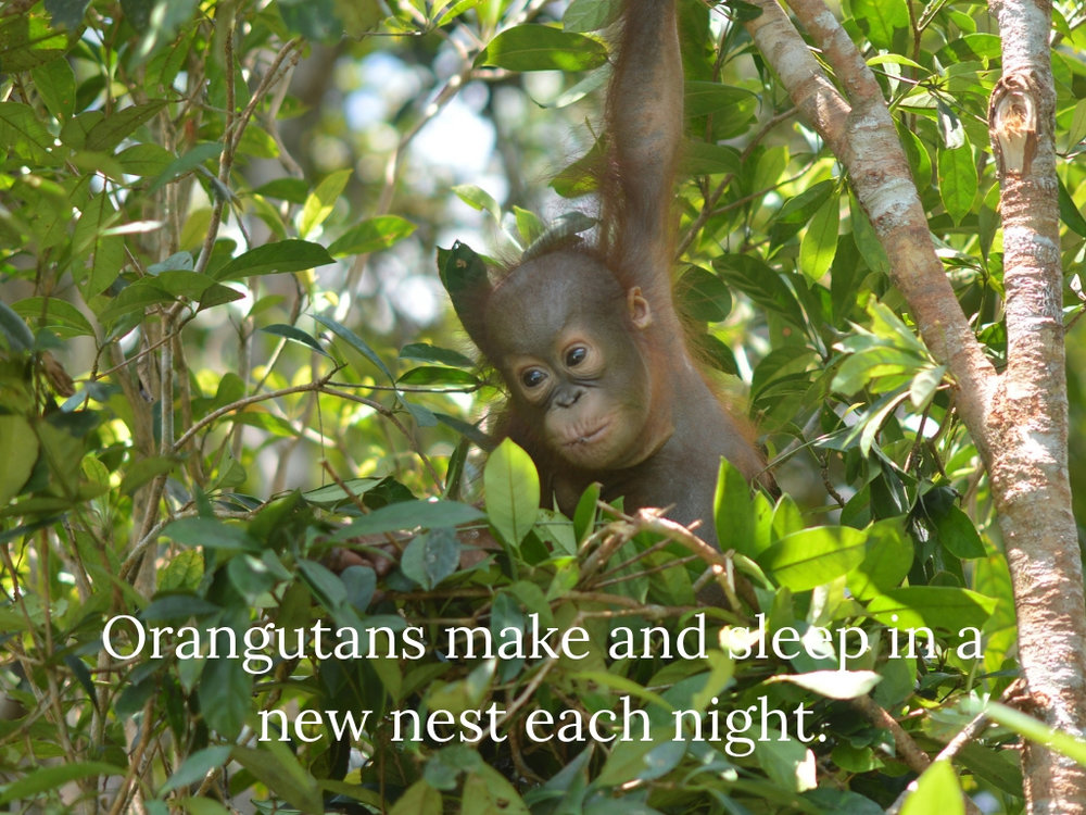10. Orangutans make and sleep in a new nest each night..jpg