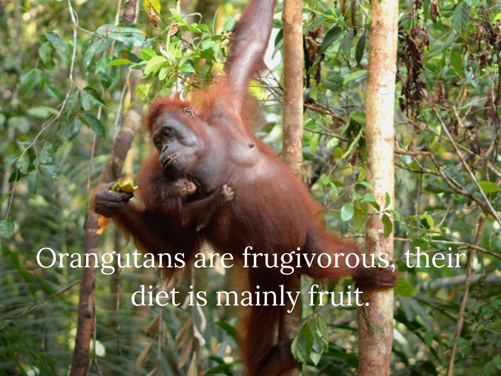 Orangutans are frugivorous, their diet comprises mainly fruit.jpg