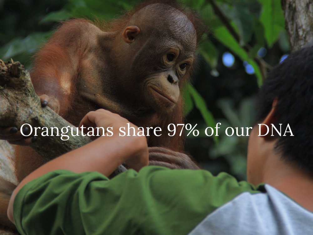 Orangutans share 97% of our DNA.jpg