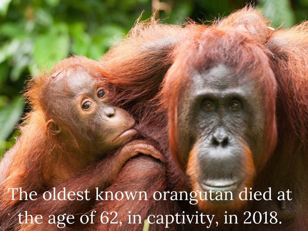 The oldest known orangutan died in 2018 at the age of 62.jpg