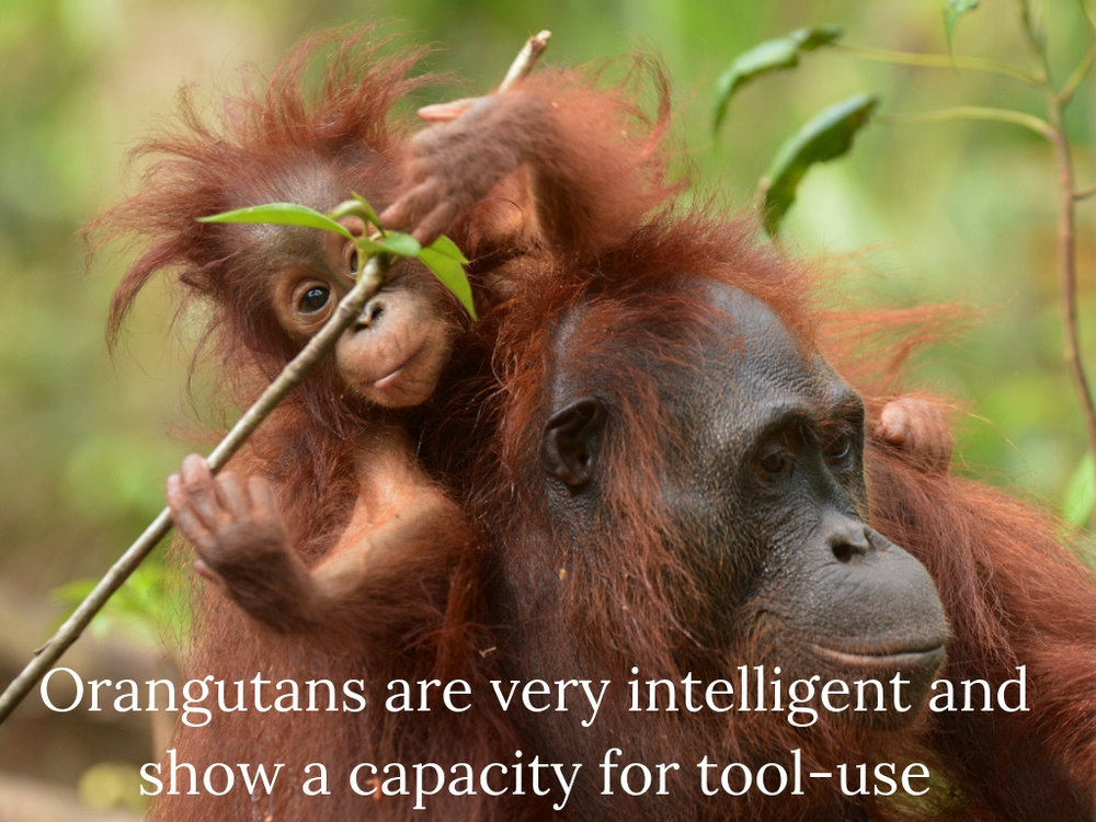 4. Orangutans are very intelligent and show a capacity for tool-use.jpg